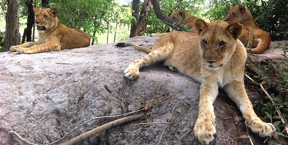 I was a mom to lion cubs in Africa